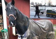 Bild på en lerig häst vid ett stall och Charlotta Liedberg, yrkeslärare på Axevalla Hästcentrum styr hjälpredan som avlastar personal och elever.