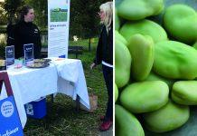 Vid provsmakningarna har man fått övervägande positiva reaktioner och många är nyfikna på åkerbönor som råvara. Foto: Sofie Bertilsson.