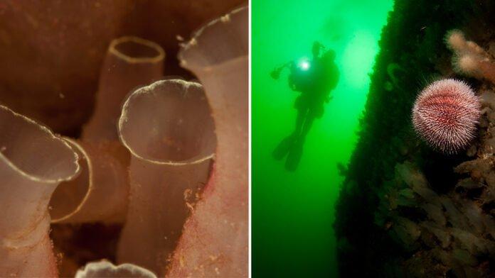 En bilden visar sjöpung, den andra bilden en dykare i silhuett i bakgrunden och i förgrunden en röd sjöborre.