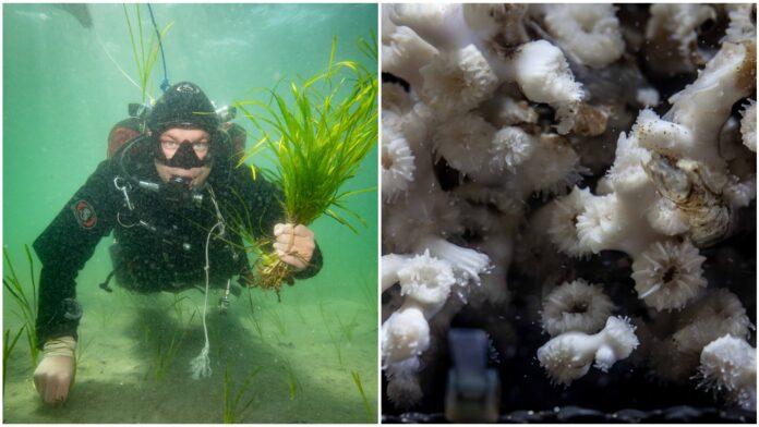 En dykare som planterar ålgräs och en bild på ögonkorallen.